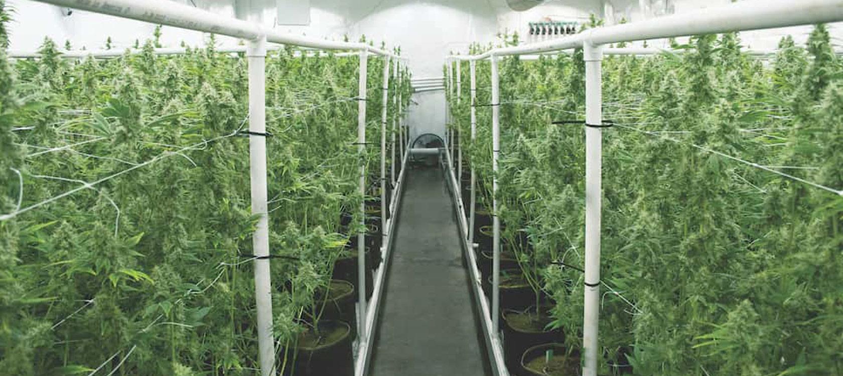 cannabis processing